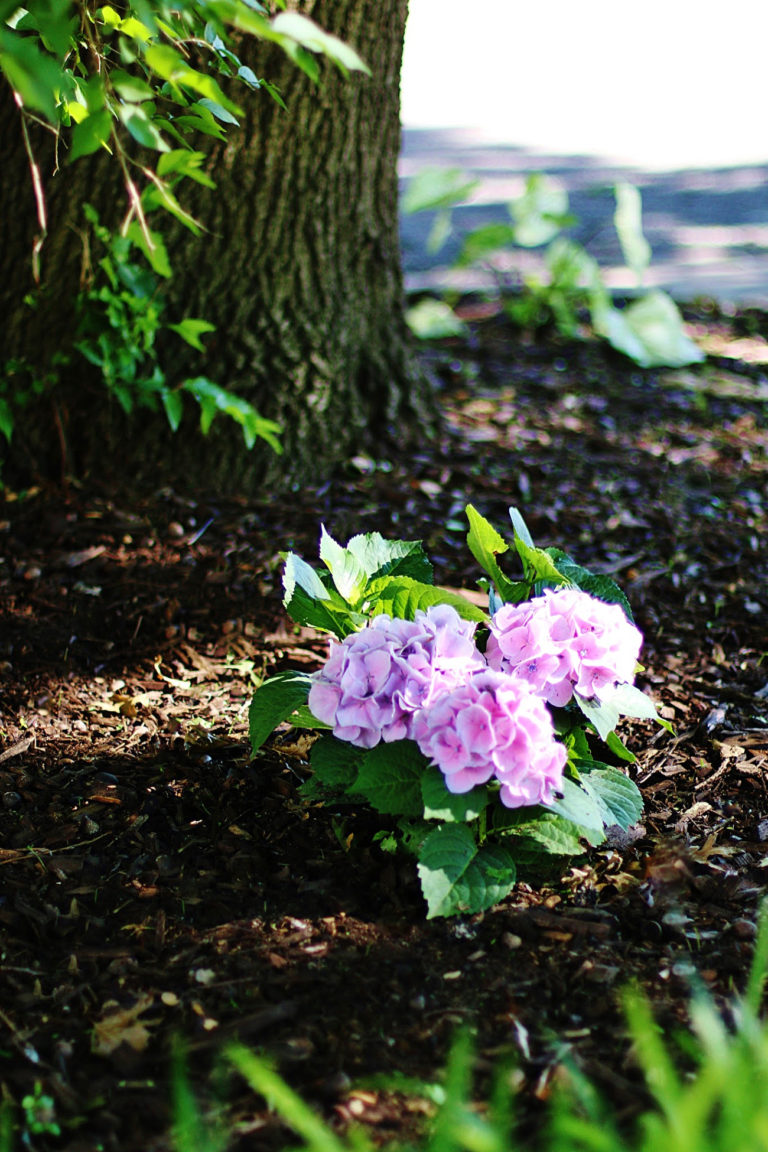Simple Tips For Growing Hydrangeas In Texas And A Giveaway Growing Hydrangeas Planting Hydrangeas Summer Hydrangeas