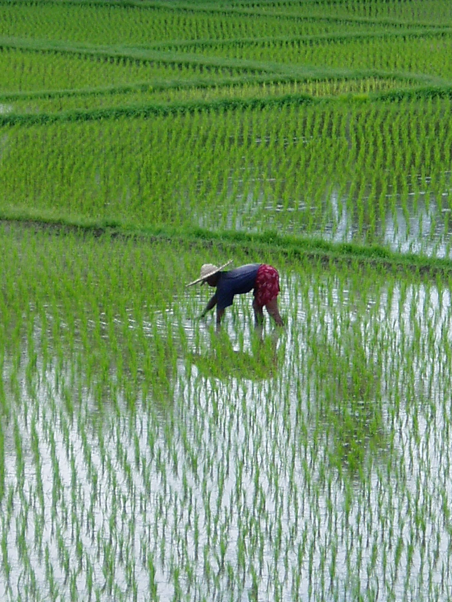 Paddy; Google Definition a field where rice is grown