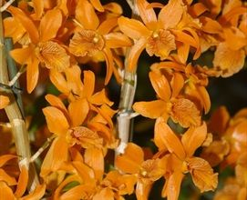 Orange Duchee Dendrobium Orchids Flowers By Category Sierra Flower Finder Dendrobium Orchids Orchid Flower Orchids