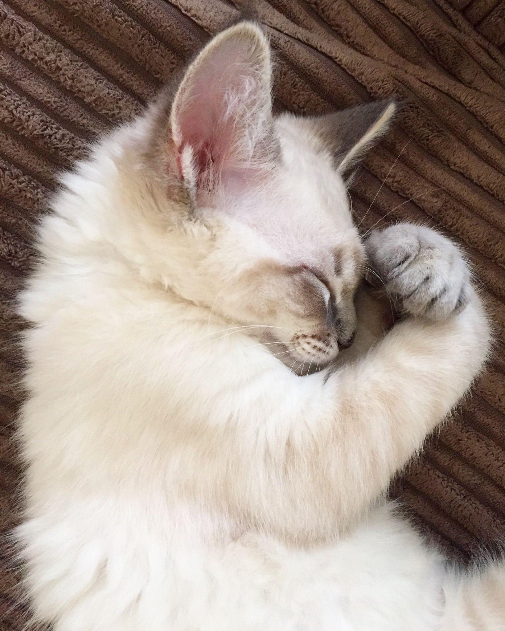 Ragdoll Kitten Cat Blueeyes Eyes Kitty Fluffy Cute Cats Pet Pets