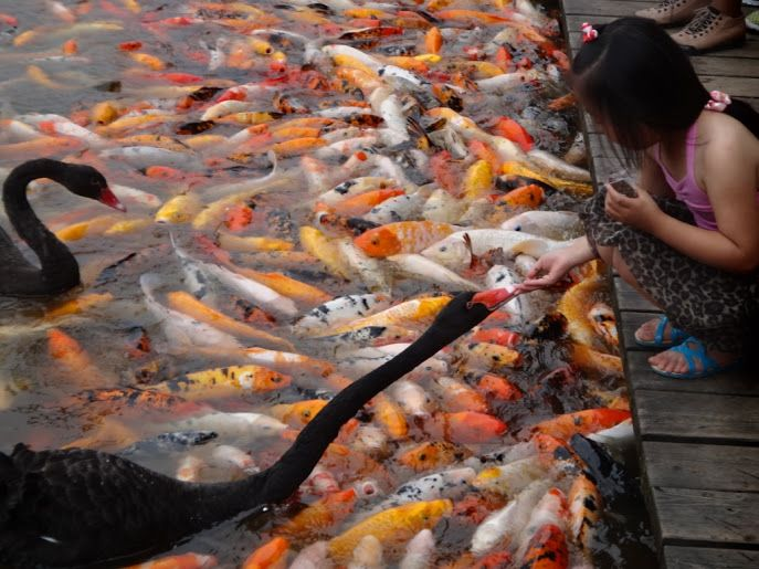 Just a day in the life in Chengdu, China! Like many others, this city is full of parks and fish ponds brimming with birds, koi fish, and other wildlife. Book your next international trip to this exciting destination. #ChengduLife #DiscoverChengdu