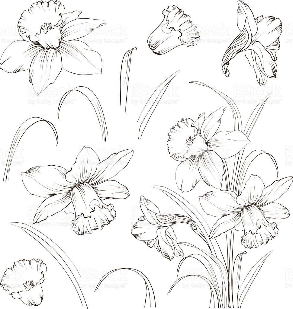 Set Of Line Drawing Narcissus Daffodils Blossom Bundle Black Flower Line Drawings Flower Sketches Flower Drawing