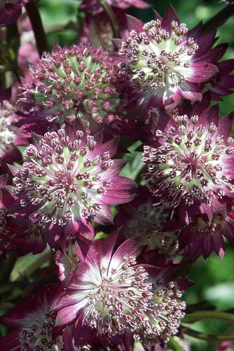 Astrantia Major Star Of Beauty Jpg - Astrantia star of beauty masterwort summer of 2015 in the garden outside