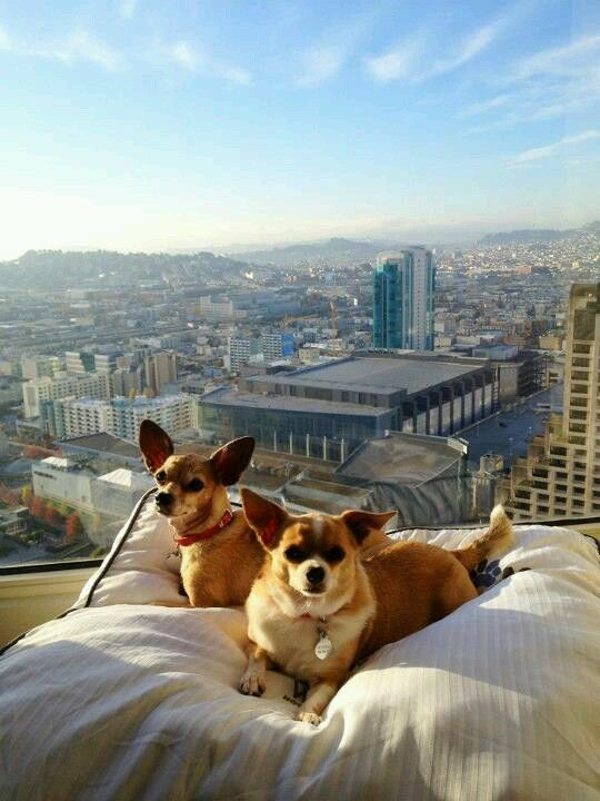 Dogs Relaxing The Westin Hotel San Francisco Ca Let Your Out Of