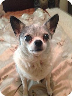 Tampa Fl Chihuahua Meet Bessie A Dog For Adoption Http Www
