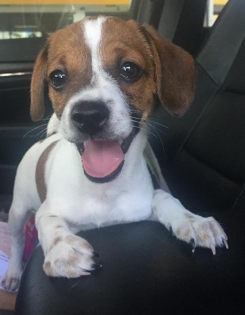 Meet Speckle, a Petfinder adoptable Spitz Dog Royal Palm