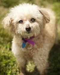 Penny Is An Adoptable Poodle Mix Dog At Last Chance Ranch Animal