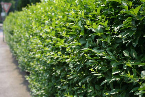 ligustrum - liguster: ligusterhaag planten, snoeien, vermeerderen