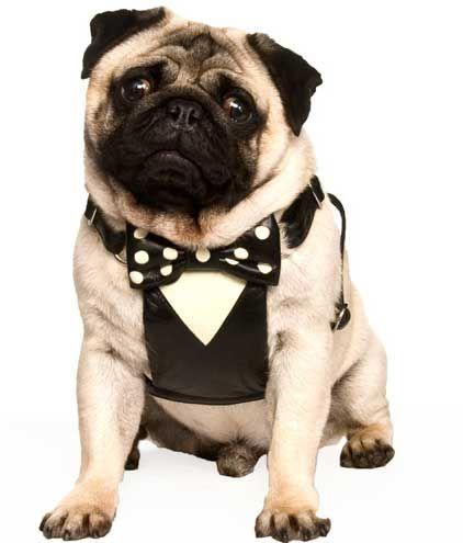 Tuxedo Dog Harness Small Medium Large Holly Lil Collars