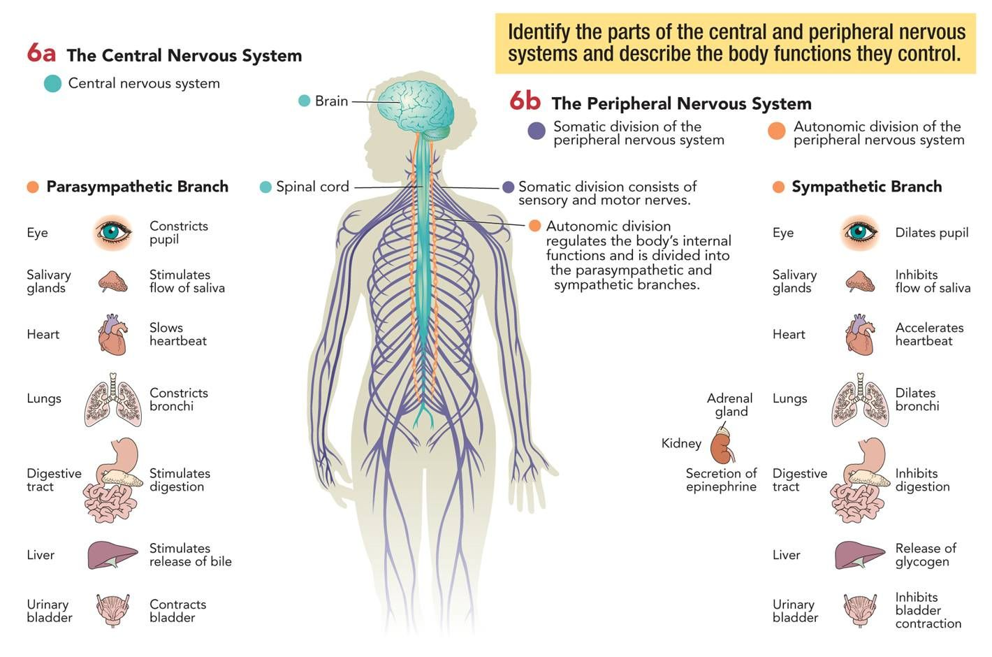 Central And Peripheral Nervous Systems With Images