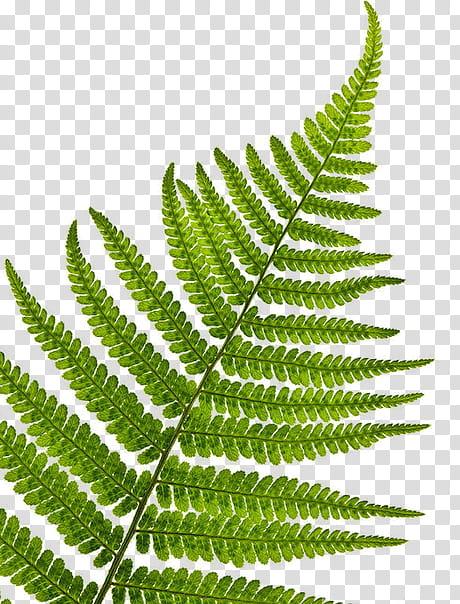 Green Fern Plant Transparent Background Png Clipart Background Clipart Fern Green Plant Png Transparent White Flowering Plants Fern Plant Ivy Plants