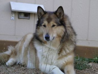 A Siberian Husky Rough Collie Cross Dog Isn T She A Dream I