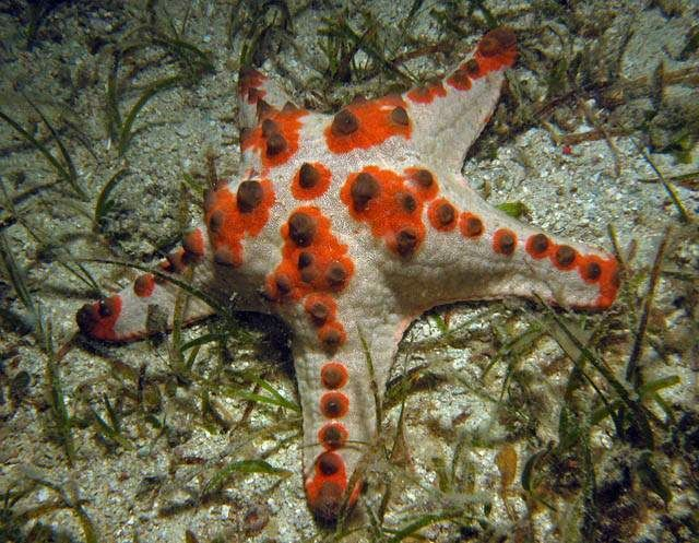 Choc-Chip starfish