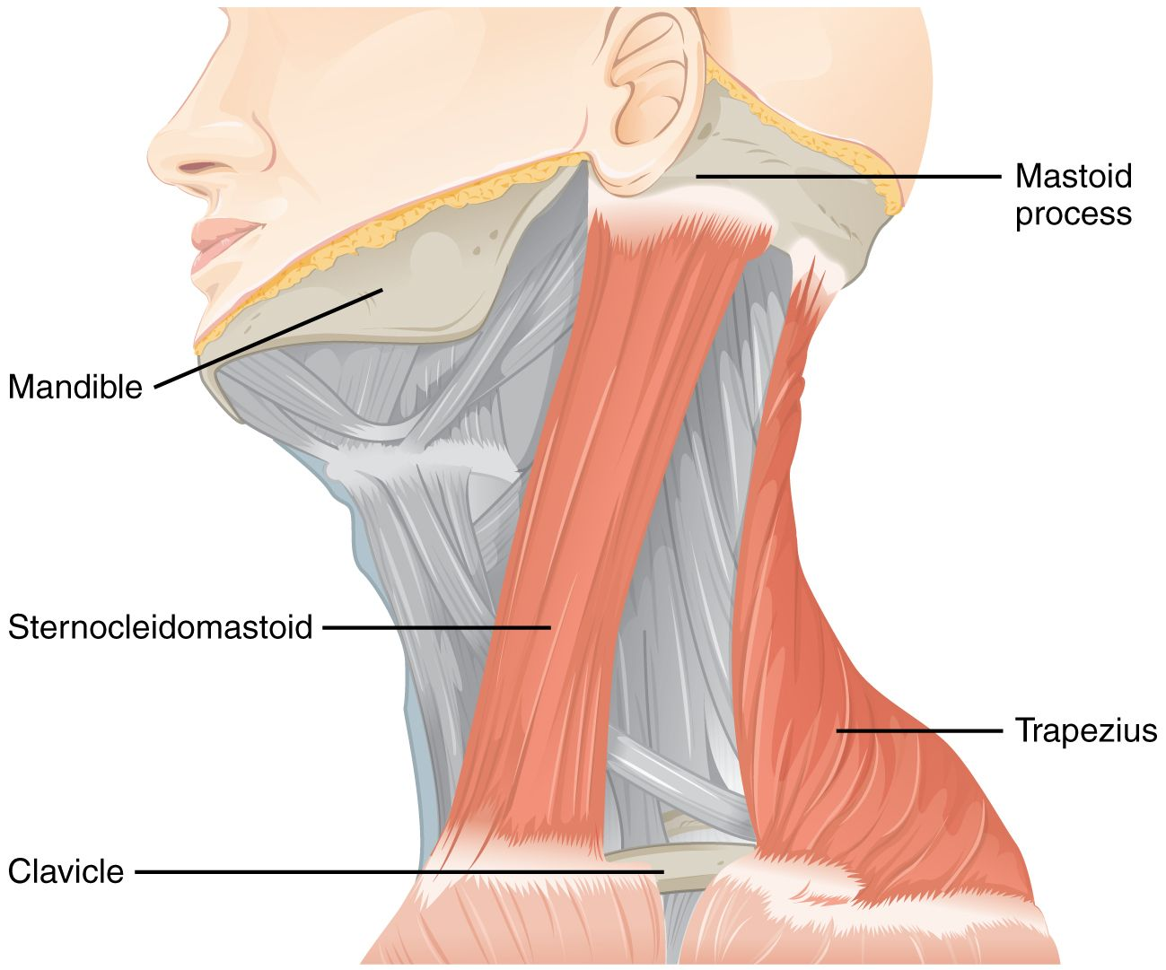 The accessory nerve innervates the sternocleidomastoid and for Floor action definition