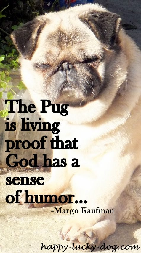 Funny Pug Quotes And Sayings Quotesgram Pug Quotes Pugs Funny