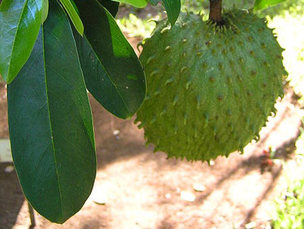 "Rich, silky and sweet, soursop is also known as ""nature's ice cream."" You may have seen it labeled as Brazilian paw paw or..."