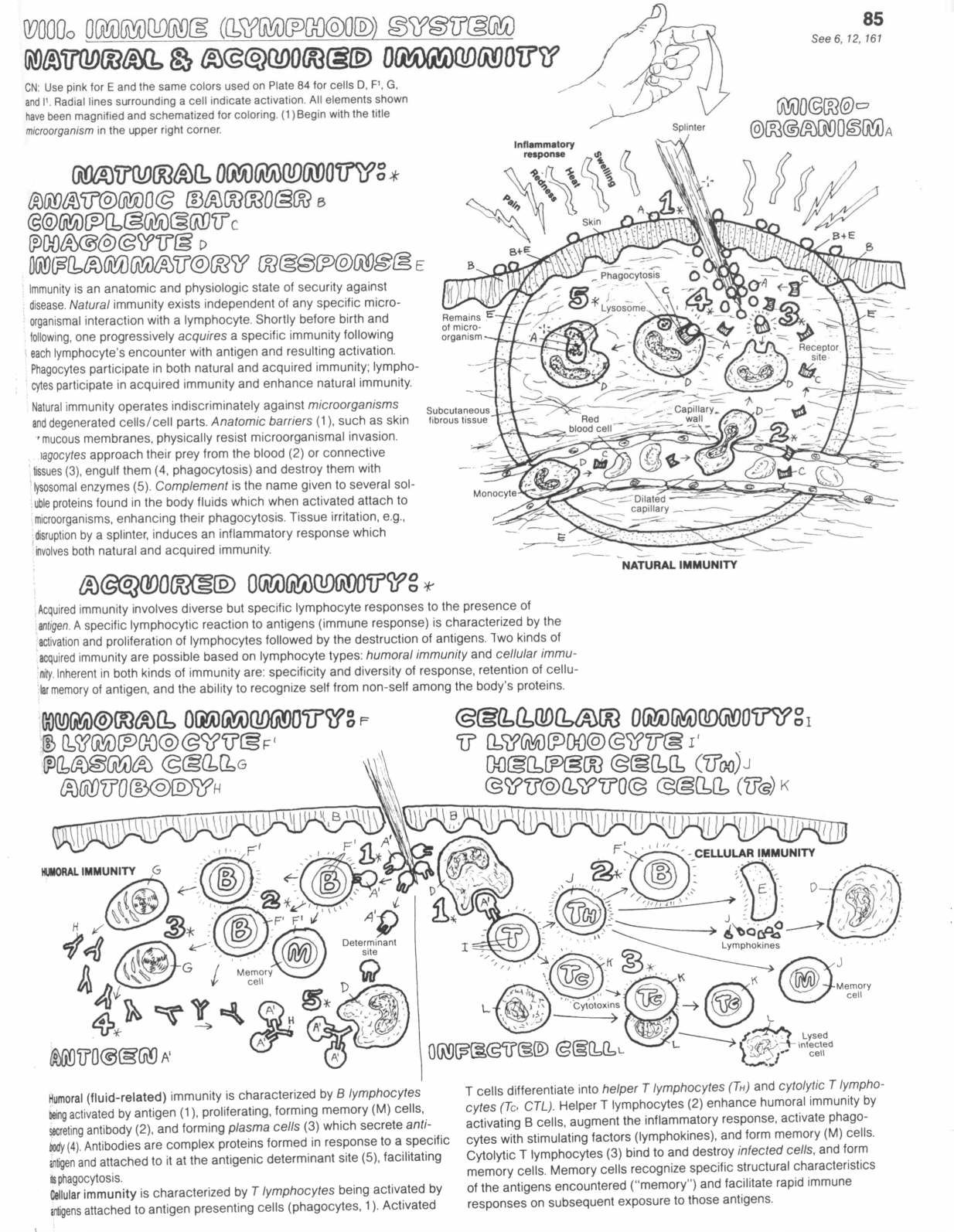 Immunology Immune System Worksheet