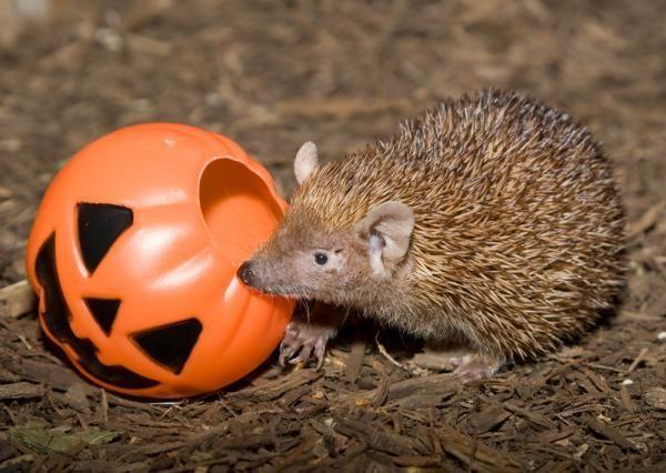 madagascar hedgehog tenrec national zoo