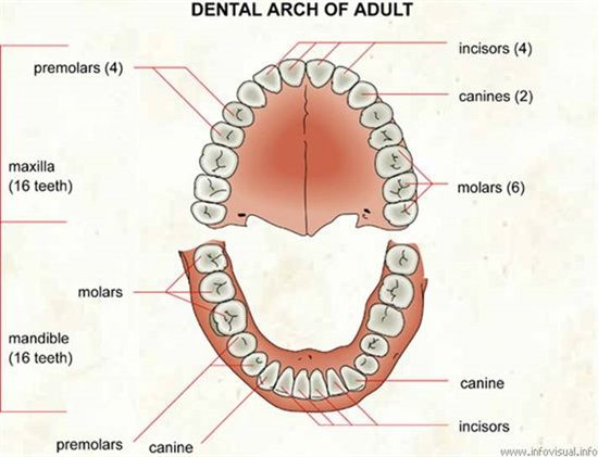 Dentaltown Dental Anatomy And Tooth Morphology Dental Arch Of