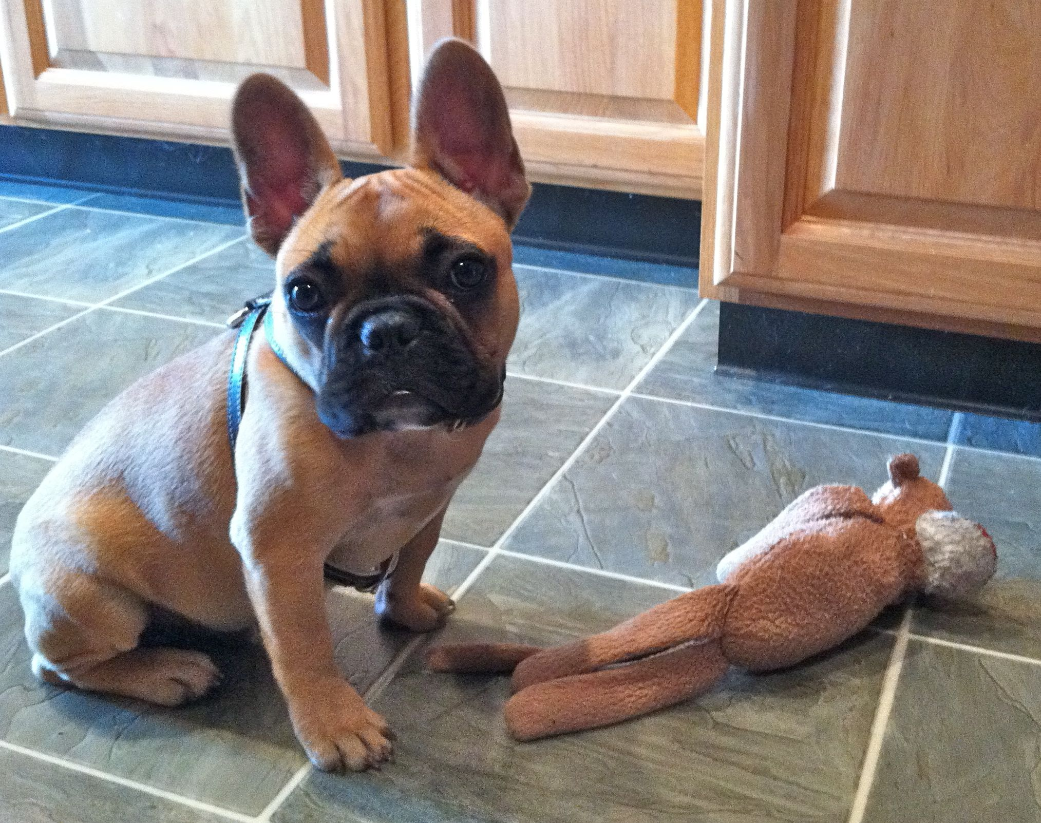 Our French Bulldog Puppy So Cute French Bulldog French