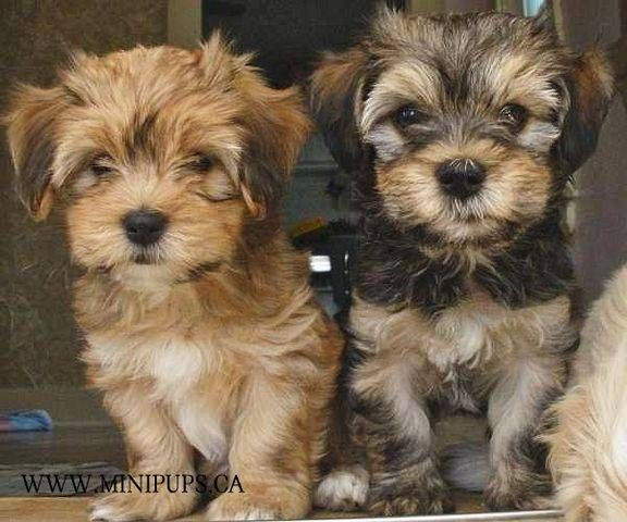 Rare Mini Havanese Puppies For Sale Adoption From Mississauga