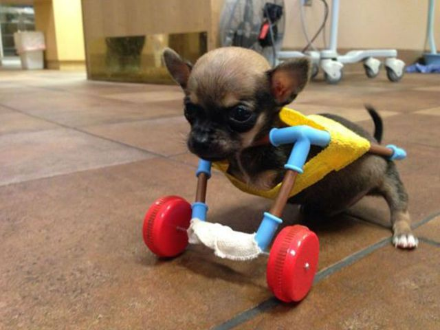 Tiny Disabled Chihuahua Named Turbo Uses Cart Made From Toy Parts