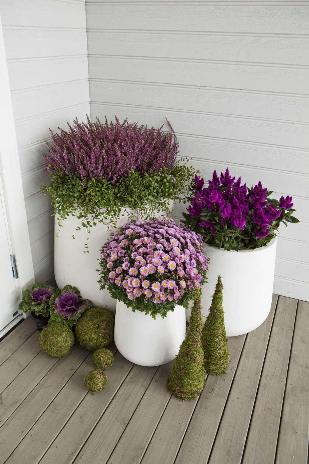 Photo of velkomst_til_gjesten_med_hebe_lyng_krysantemum,  #flowergardenLandscapedesign #velkomsttilgje…