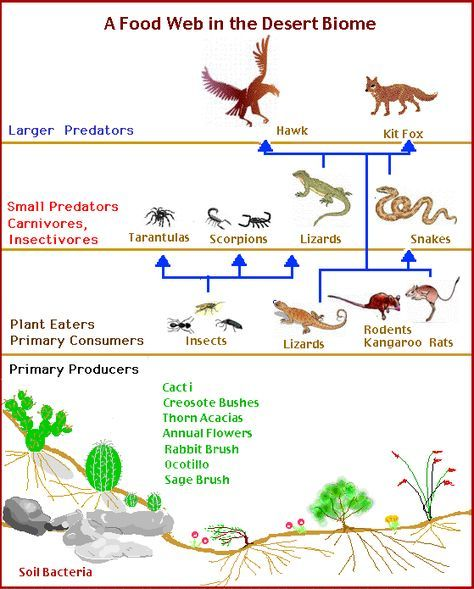 Desert Food Chain Desert Biome Biomes Food Web