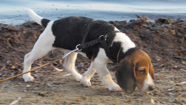 Purebred Tricolor Beagle Puppy Following Its Nose On A Muddy Beach