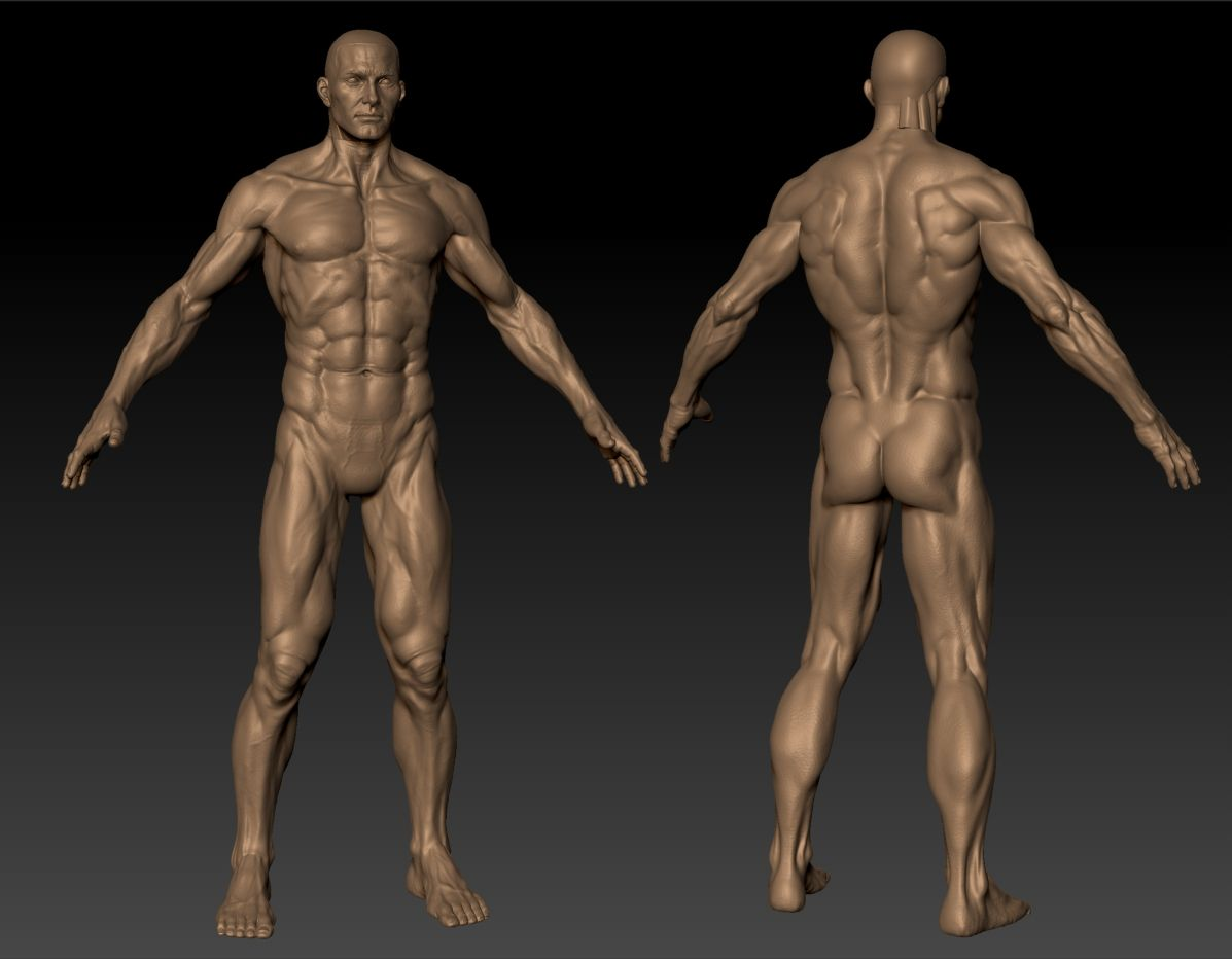 3D male figure, muscles, front and back — anatomy references for ...
