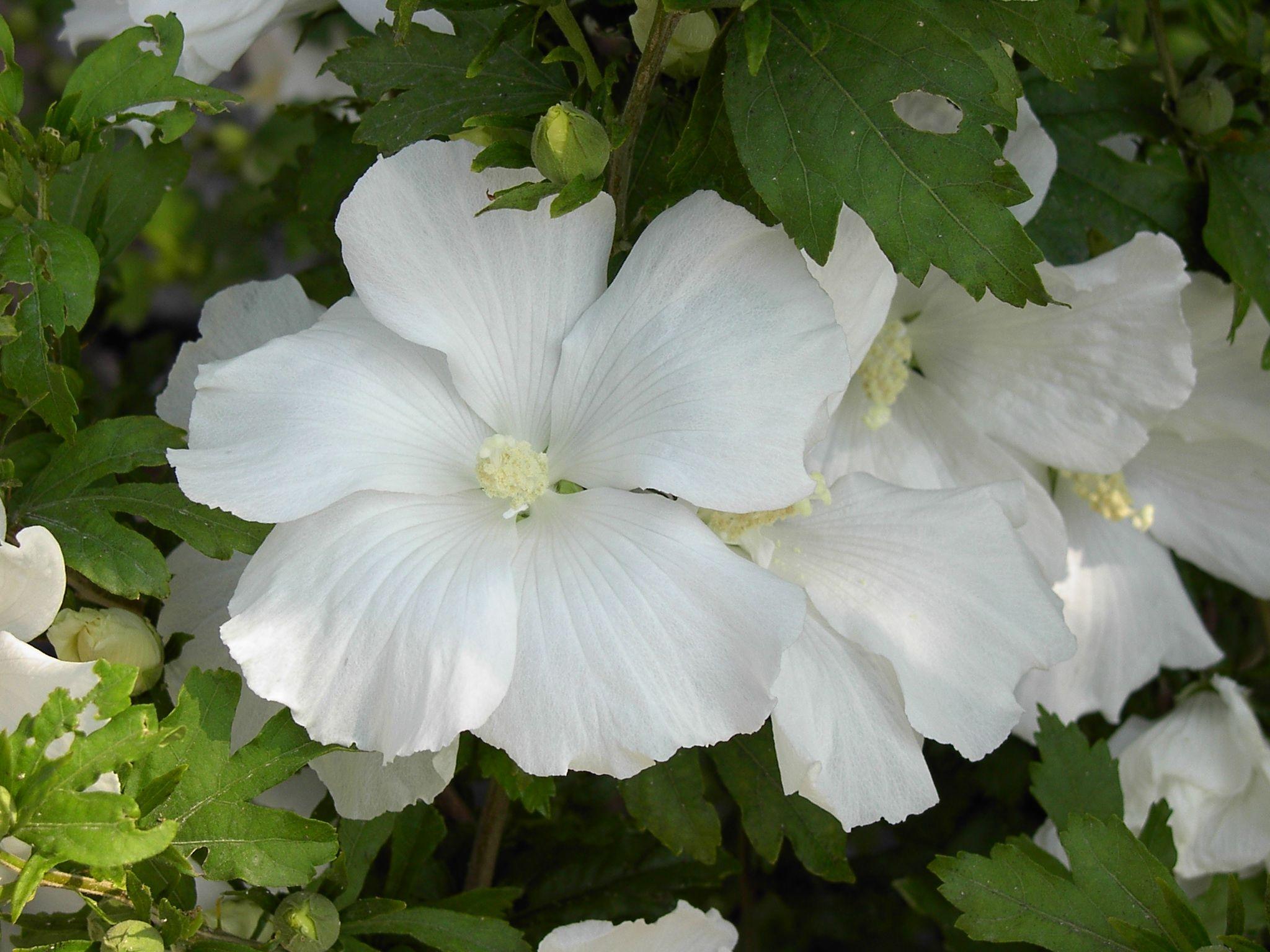 Hibiscus syriacus 'Diana' ↕ 2.50m ↔ 2m Øfl 12cm. Hybride triploïde, stérile. Fleurs simples blanches, froissées, de juillet à sept. ***