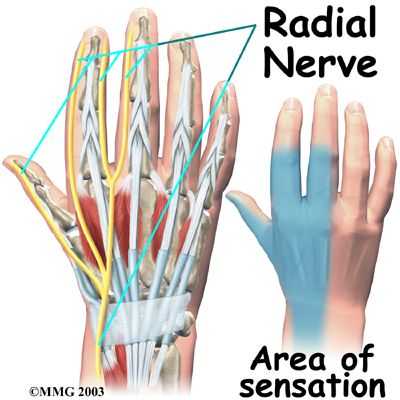 The Radial Nerve sneaks past the carpal tunnel and goes into the ...