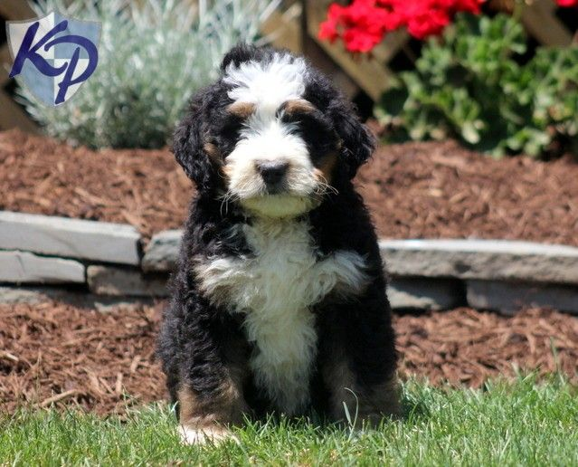 Bernedoodle Puppies For Sale Health Guaranteed Keystone