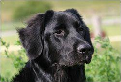 Shootings Galerie Schwarze Hunde Hunde Mischlinge Hovawart