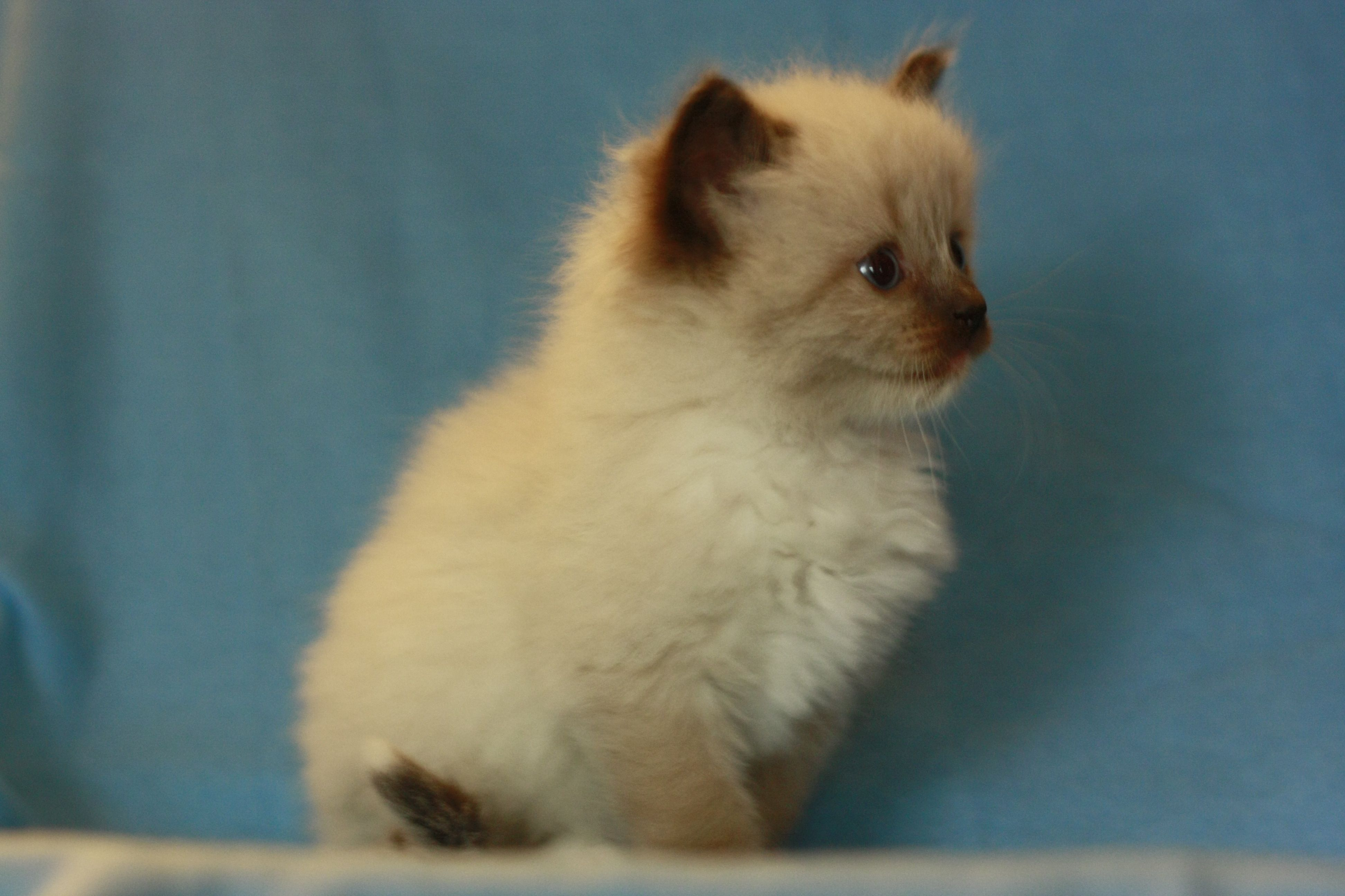 5 Week Old Seal Colorpoint Mitted Ragdoll Kitten Ragdoll Kitten Cats And Kittens Ragdoll Cat