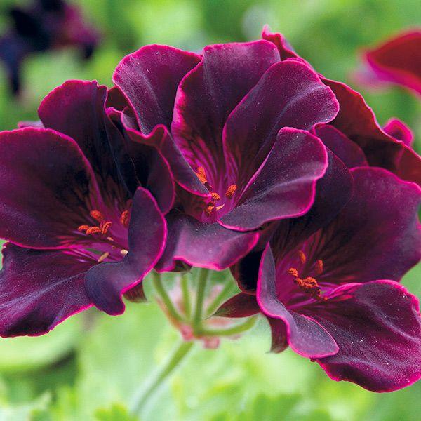 """Pelargonium """"Lord Bute"""""""
