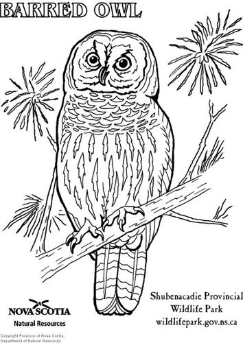 Coloring Page Barred Owl Img 6003 Owl Coloring Pages Bird Coloring Pages Coloring Pages