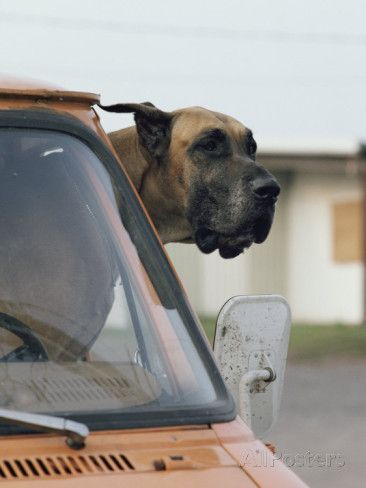 View Of A Great Dane Sticking Its Head Out A Window Of A Parked