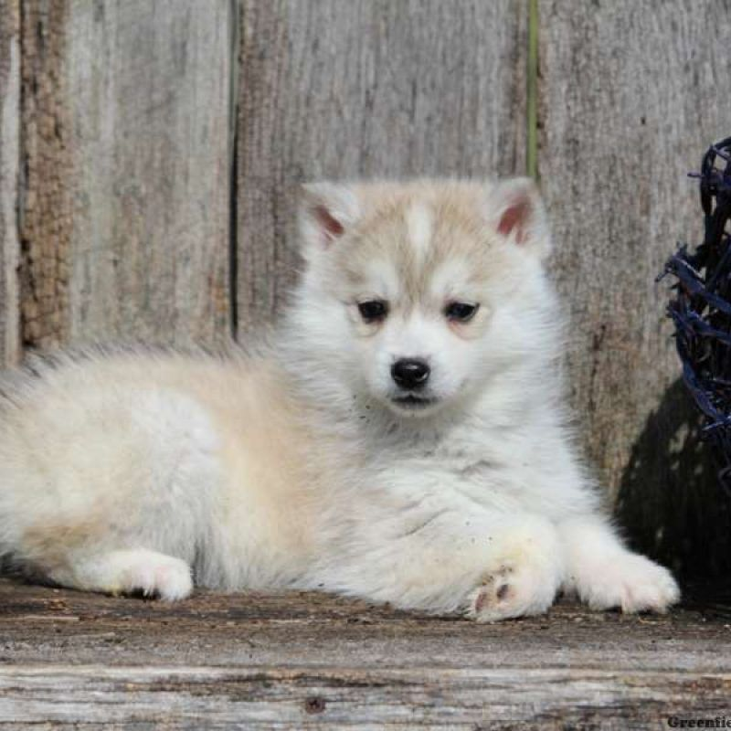 Huskimo Husky And American Eskimo Mix Adorable Dog Breeds