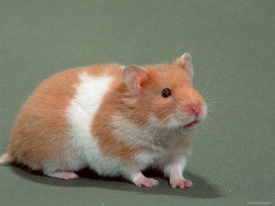 This Hambone Looks Like The Late Great Sunshine Bear Hamster Hamster Dwarf Hamster Care