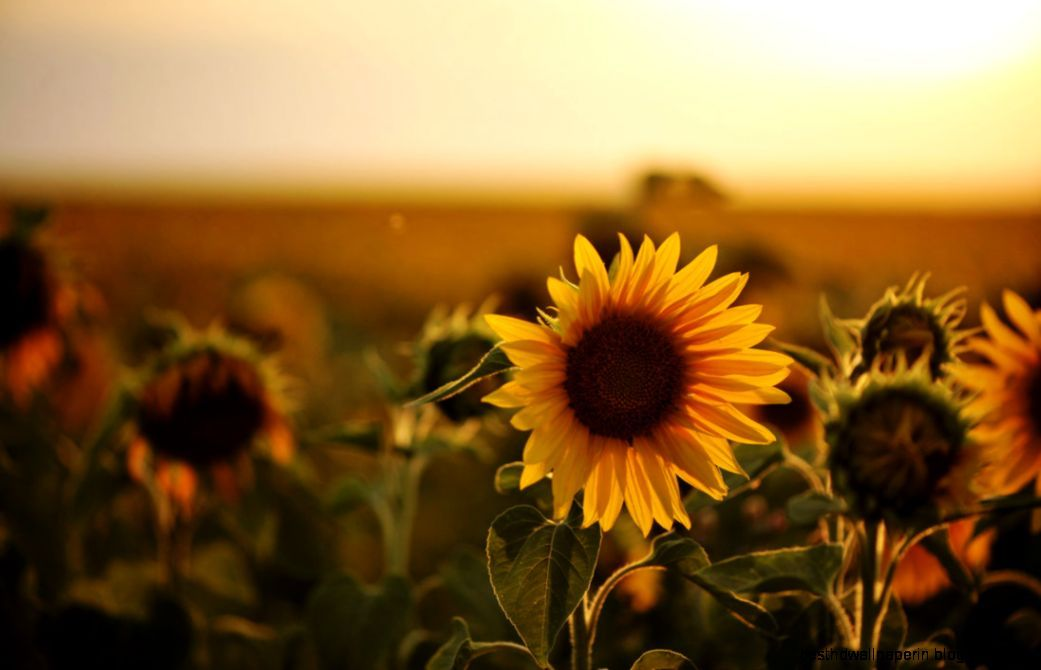 Sunflower photography tumblr mac