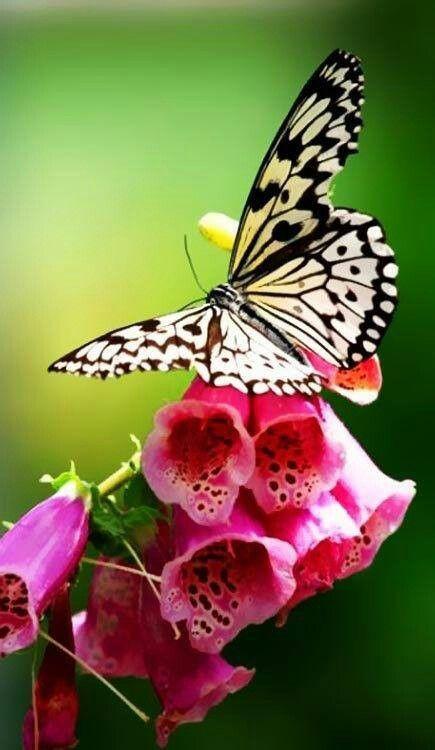 Beautiful Foxglove And Beautiful Visitor Beautiful Butterflies