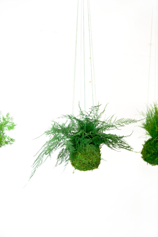 Featherleaf Fern Kokedama Hanging Moss Plant Zero Care Etsy In 2020 Moss Plant Plants Kokedama
