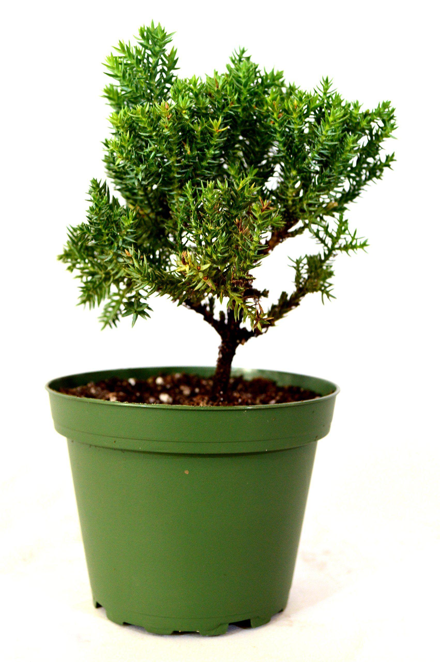 9greenbox Juniper Bonsai Starter 4 Pot