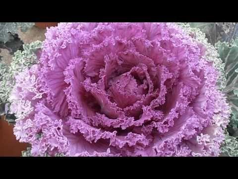 Col de jardín: Brassica oleracea (www.riomoros.com) - YouTube