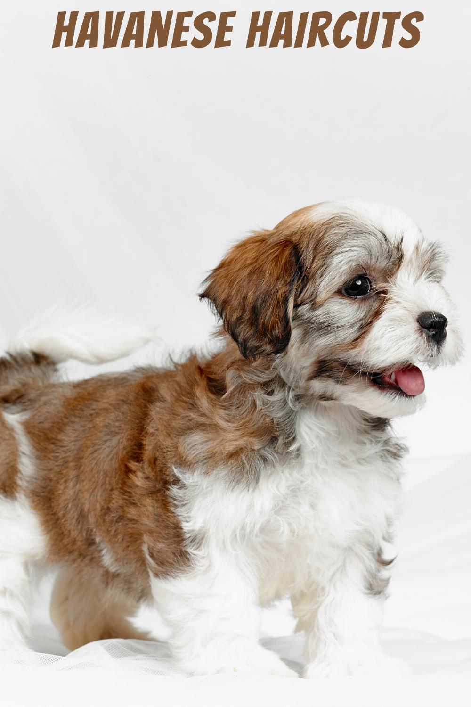 Havanese Haircut Short In 2020 Havanese Haircuts Havanese Havanese Dogs