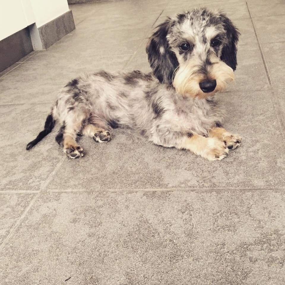 Amazing Wheaten Wirehaired Dachshund Pictures - Electrical and ...