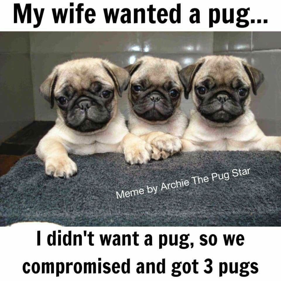 I Should Ve Tried To Wheel And Deal When We Got Ours Pug Memes