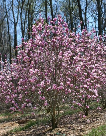 Jane Magnolia Tree Magnolia X Jane With The Proper Care Your
