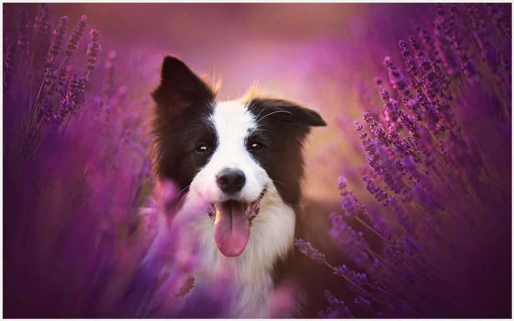 Border Collie Dog Wallpaper
